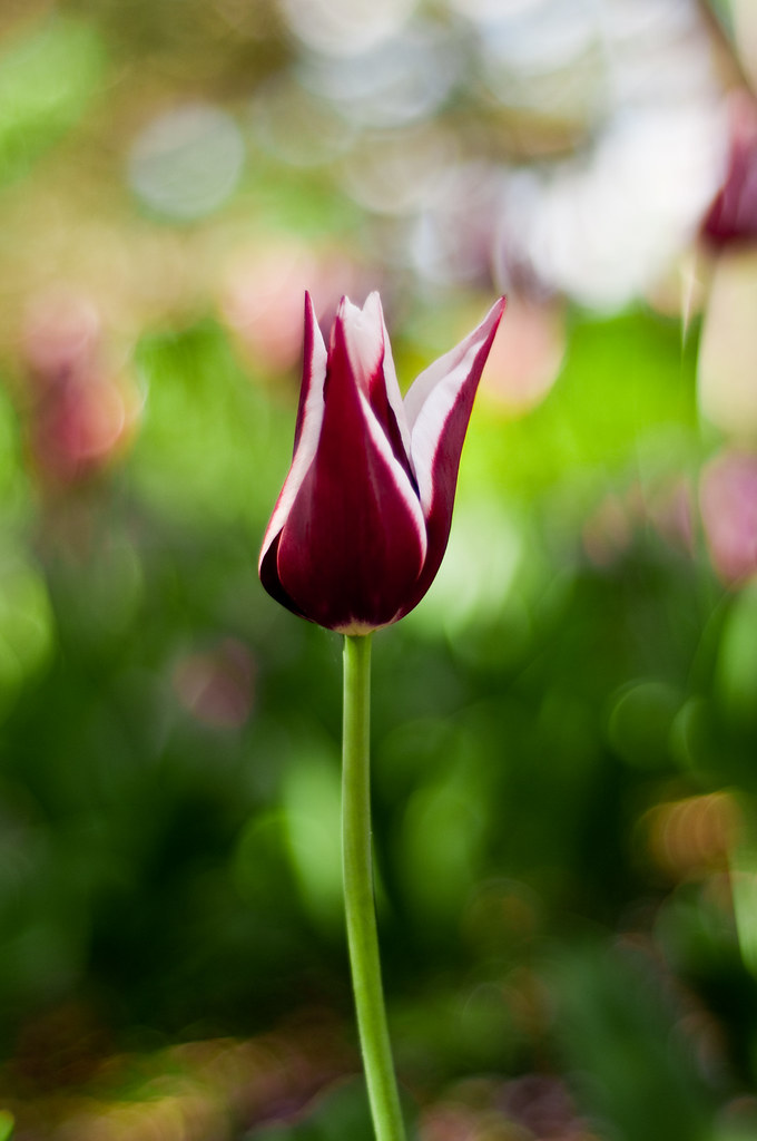 single maroon and white tulip
