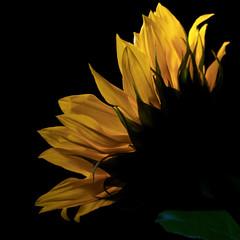 Sunny (Greg B Photography) Tags: orange flower macro yellow winnipeg manitoba sunflower onblack floralfantasy 18200vr d80 nikond80 platinumheartaward awesomeblossoms platinumbestshot platinumpeaceaward gballa86 gballaphotography
