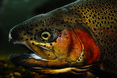 Rainbow Trout (Pragmatic1111) Tags: fish cold water spots trout gill rainbowtrout