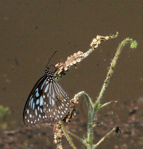 Un id bluish b'fly
