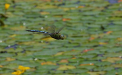 "Emperor Dragonfly in Flight (Anax imperator) • <a style=""font-size:0.8em;"" href=""http://www.flickr.com/photos/57024565@N00/548617800/"" target=""_blank"">View on Flickr</a>"