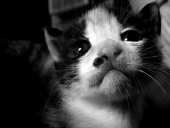 Chatouille en noir et blanc (Rabara) Tags: cute cat photoshop chat noiretblanc 10faves chatouille abigfave defidefiouiner bestofcats bestofr boc0807 friendlychallenges
