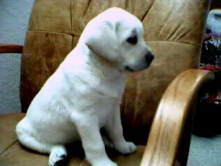 yellow Labrador Retriever puppy;