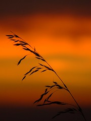 Gone to seed (Chris Beesley) Tags: sunset sky orange sun flower colour grass interesting bravo fuji explore finepix fujifilm s5600 supershot explored interestingness195 i500 superaplus aplusphoto superhearts ishflickr coolestphotographers bachspicsgallery