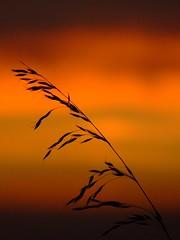 Gone to seed (Chris Beesley) Tags: sunset sky orange sun flower colour grass interesting bravo fuji explore finepix fujifilm s5600 supershot explored interestingness195 i500 superhearts ishflickr coolestphotographers bachspicsgallery
