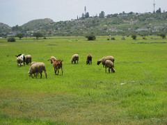 Sheep and goats grazing in central Mexico