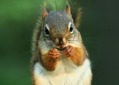 Punchy the Squirrel (nature55) Tags: nature outdoors nice squirrel searchthebest sweet wildlife punchy naturesfinest punchythesquirrel