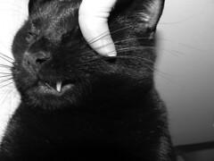 Black cat baring a fang