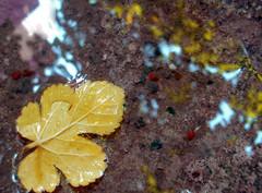 dut yaprağı :) (shewwal) Tags: water garden relax leaf su bahçe mulberry yaprak fotoğrafkıraathanesi shewwal