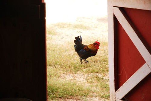 rooster through the barn door