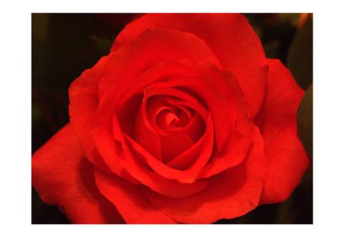 Prom Rose
