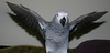 Super Brutus (Cal Bear 94) Tags: baby bird flying wings african parrot africangrey stretched flapping featheryfriday