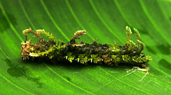 Moss caterpillar (Adelpha serpa selerio), Panama (Arthur Anker) Tags: macro nature moss rainforest insects lepidoptera caterpillar panama mimicry nymphalidae adelpha