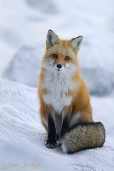 Cold and Lonely (Jim Salge) Tags: winter mountain snow cute ice wildlife newengland newhampshire whitemountains nh hampshire mtwashington alpine fox stare mountwashington redfox whitemountainnationalforest flickrsbest volpes