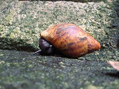 Snaily snail (Philip Jensen) Tags: nature animal snail slimy