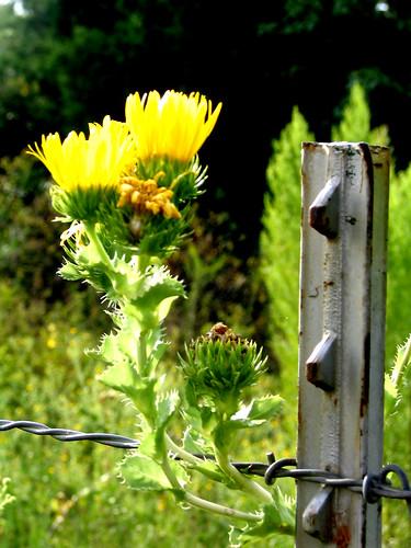 Weeds & Barbed Wire