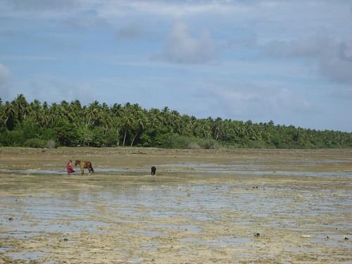 curing pandanus on the reef Niuatoputapu