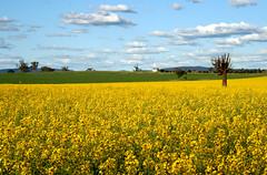 canola field (~ Di ~) Tags: exploreinterestingness canola fieldofyellow abigfave abigfav impressedbeauty