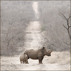Out for a walk (anne makaske) Tags: baby nature animals southafrica or wildlife safari calf rare motherandchild krugernationalpark whiterhino naturesfinest flickrbest jalalspagesanimalkingdomalbum theunforgettablepictures widerhino