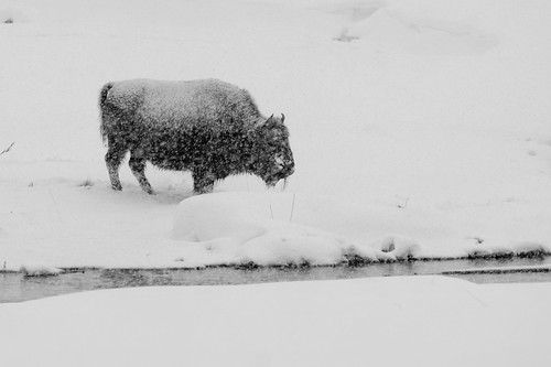 Bison beside the river