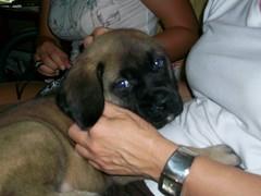 english mastiff pups 7 weeks (weewilly54) Tags: puppy englishmastiff