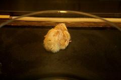 Hühnerküken - Frisch geschlüpft / Chicken biddies - Freshly slipt
