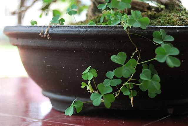 clover + bonsai