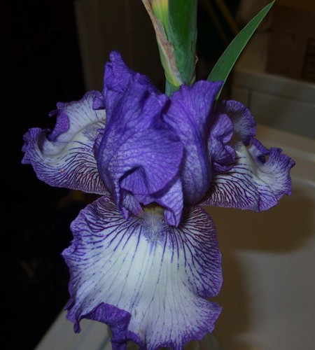 November Iris Bloom, close up