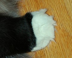 Paw & Tiny Tufts (Shawn's Kitty (Busy Healing!)) Tags: paw kitty kissablekat