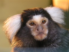 Marmoset looking cheeky