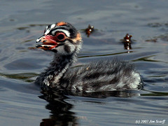 Pied- billed grebe chick (Jim Scarff) Tags: piedbilledgrebe podilymbuspodiceps specanimal avianexcellence
