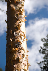 Flakey pine bark