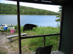 "The ""curious bear"" comes to dinner"