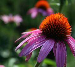 """Carrot top"" (vashooterman) Tags: echinacea asteraceae naturesfinest echinaceapurpurea colourartaward"