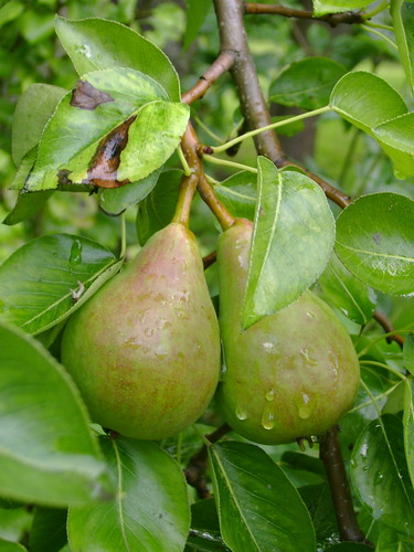 A nice pair of pears