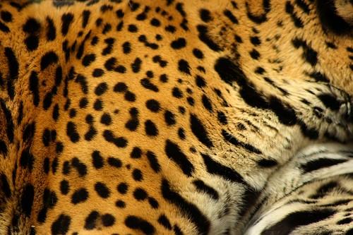 Jaguar print vs leopard print