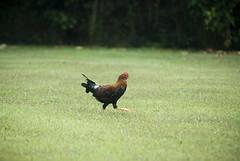 Crazy, psychotic, wild chicken (miguelitobuzzard) Tags: kauai hanalei kilihiwai kilahuea