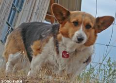 Border Patrol, Corgi  Style - by 2-Dog-Farm