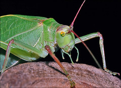 Tasting the way around (vlastik) Tags: katydid soe palp anawesomeshot diamondclassphotographer