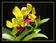 Dendrobium Chaisri Gold 'Hawaii', wonderfully sun-kissed!