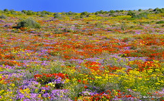 Namaqualand wild flowers (Martin_Heigan) Tags: camera flowers plant flower color colour nature field digital southafrica botanical carpet spring flora nikon close desert searchthebest martin natural d70 bright wilde diversity photograph daisy bloom wildflowers blooms dslr botany wildflower lente veld breathtaking sdafrika biodiversity blooming kleur sudafrica namaqualand northerncape blom fleurssauvages wildblumen afriquedusud zuidafrika suidafrika namakwaland floressilvestres fricadosul sydafrika sudfrica 18200mmf3556gvr garies namaqua blomme heigan mywinners fioriselvatici mesembs woestyn 9august2007 soutfontein namaquadaisies mhsetnamaqualand mhsetlandscapes mhsetuntouched mhsetflowers wildeblomme
