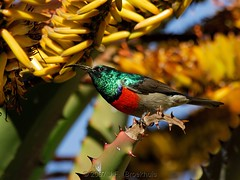 Greater Double-Collared Sunbird (Male) (Makgobokgobo) Tags: africa tree male bird southafrica aloe sunbird waterberg flatfloweredaloe aloemarlothii greaterdoublecollaredsunbird cinnyrisafer thabazimbi cinnyris bfgreatesthits waterbergcountrylodge