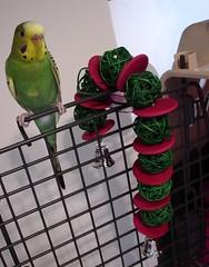 DSC06348 (PhotoPieces) Tags: bird budgie parakeet ilovebirds