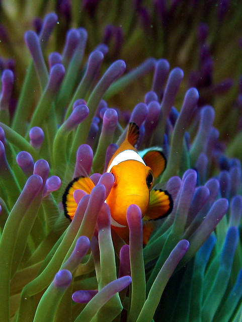 anemone fish in Sipadan