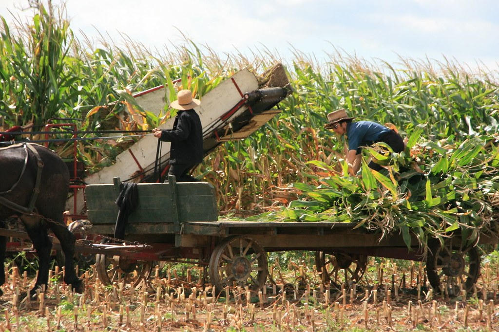 corn cutting in amish country