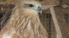 eagle (shutterstar11) Tags: bird philippines floraandfauna