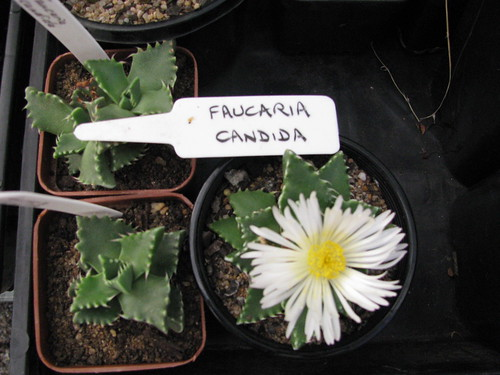 Faucaria tigrina 4603017969_9b15c6a3df