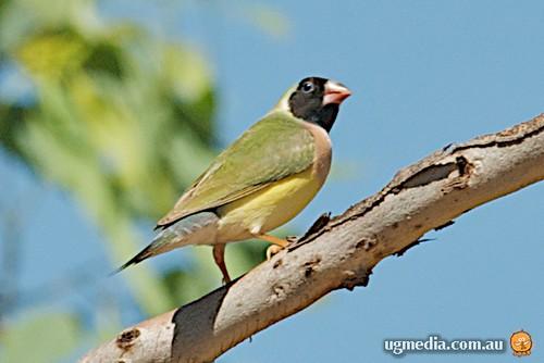 Gouldian finch (Erythrura gouldiae)