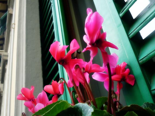 rosa persiana