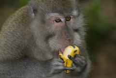 Mmmmm, tasty! errr say _ ba-na-nas?  okay, now throw me another banana!... wildlife from bali  (bocavermelha-l.b.) Tags: longtailedmacaque macacafascicularis macaques   o eatingbanana banana monkey mandalawisatawenarawana sacredmonke